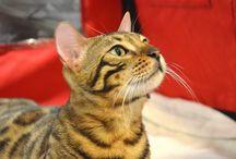 Beauty Cat Bellini (Jack)