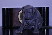 Thai Ridgeback puppy for sale