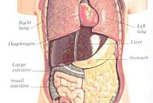 Anatomy of organs