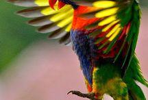 papouškova
