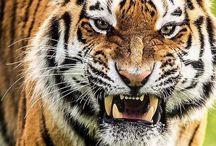moje ulubione : tygrysy