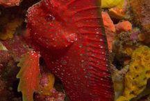 Scorps, Waspfish & Stingfish