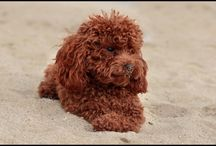 For the Love of Poodles / Cute pictures and gift ideas for Poodles