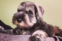 Sydney the miniature Schnauzer