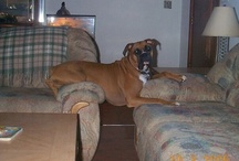 Animals...Boxers Rule / I've been owned by this breed since 1987, and as much as I love all animals, this breed IS the best!!!