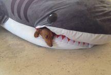 Bella California the shark