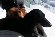 Dachshunds / The craziest breed of dog I know and have come to love.