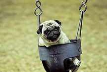 Pugs! / A collection of cute pug pictures, just because.