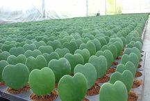 plantas grasas
