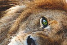 LION:)