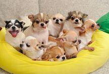 10 raças de cachorros que vivem mais tempo - Página 2 de 2 - Portal do Dog