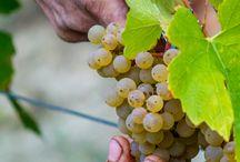 Développement durable / Sustainable Vinegrowing / La Cave de Lugny a toujours fait le choix de garantir la qualité et la traçabilité de ses vins. Depuis près de 20 ans, notre niveau d'exigence ne cesse de croître, depuis le vignoble jusqu'à la bouteille.