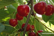 Los guindos / Los guindos, Prunus cerasus, son árboles caducos de la familia de la rosáceas emparentados con los cerezos silvestres Prunus avium L..