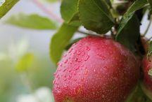 jablka - apples