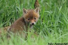Baby fox / Baby fox pictures