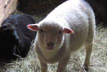 Indraloka's Shining Sheep