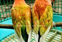 lovebird - parrotlets - parkeets