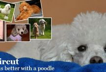 Poodle Haircut / Lovely Poodles