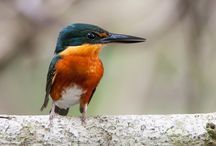 Kingfishers of the World