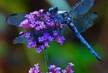 Dragonflies / by Kimberly Kuefler