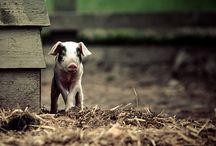 *Cochon* Images