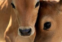 beautiful cows and their babies