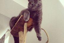 My cat / cat, british shorthair cat