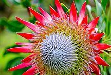 Kwiaty australijskie / O pięknych kwiatach Australii
