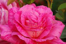 Růže(Roses)