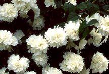 Puutarhani / Tänne on koottu puutarhastani löytyvien kasvien kuvia ja hoito-ohjeita.