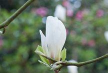 Magnolia / Magnolia