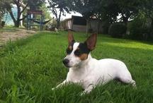 Jack Russells / My crazy, beloved dog