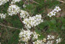Wildkräuter-Kalender Mai / Wildpflanzen-Erntekalender für den Monat