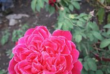 My Rose. / My Pink Rose (Tuesday, oct 03rd, 2017)