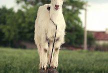 c a p r i c o r n / the energy of the goat.