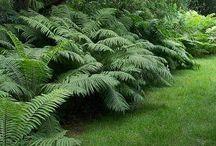 Ferns / For zone 4 & 5 preferably native to NY state