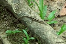 Reptiles and amphibians of southern Thailand