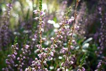 Ericaceae / Erica, blueberry, cranberry, rhpdpdendron, azalia and so on