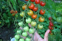 paradicsom termesztése