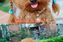 poodle to love