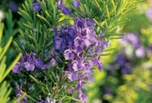 Rosemary: For All Reasons / One of the best-loved herbs of all time: in the kitchen, the medicine cabinet, the closet (smells heavenly!), the garden