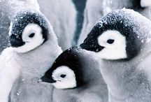Penguins my love