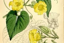 Illustrazioni botaniche antiche