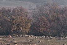 A birkák / A Dörögdi Mező Kft birkái, akiknek a gyapjából készülnek a Dörögdi gyapjú kiváló minőségű termékei.
