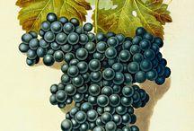 Struguri  Grape
