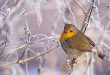 Rouge-gorge / Robin redbreast