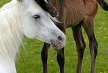 Hester & føll