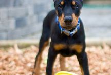 Dobermans / Doberman Pinscher