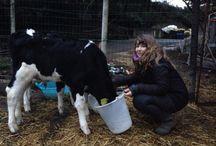 Mucche Frisona