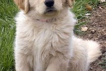 Lovely Golden Retriever